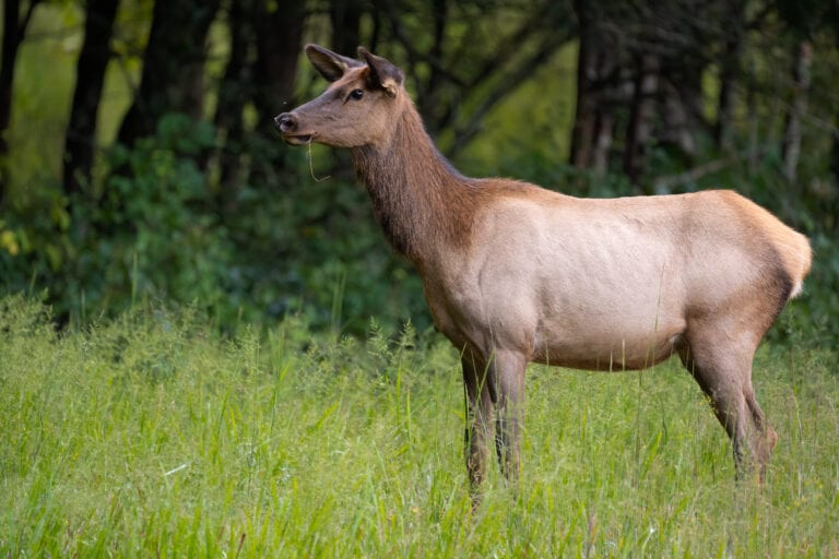 OREGON STATE POLICE REQUESTING PUBLIC'S ASSISTANCE WITH UNLAWFUL TAKING OF COW ELK – WHEELER COUNTY